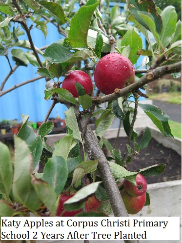 katy-apples-at-corpus-christi-2-years-after-tree-planted-cropped
